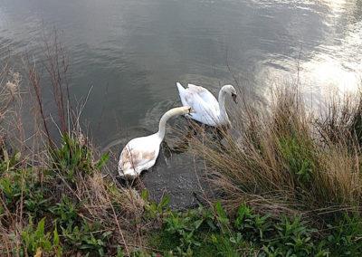 Abergele Public Park swans